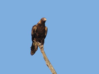 EAGLE WEDGE-TAILED_19_03
