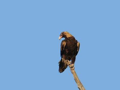 EAGLE WEDGE-TAILED_19_02