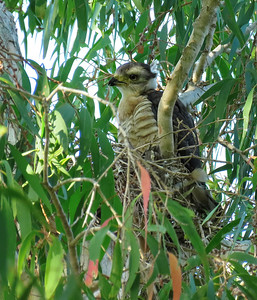 Baza chick, near or at the nest.