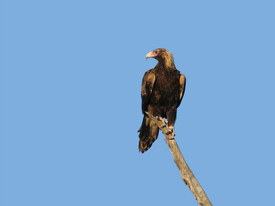 EAGLE WEDGE-TAILED_19_04