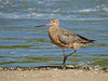 GODWIT BAR-TAILED_96