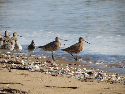 GODWIT BAR-TAILED_66
