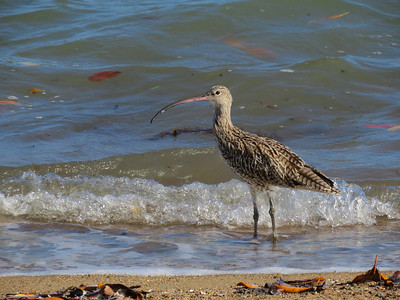 CURLEW EASTERN_29