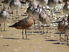 GODWIT BAR-TAILED_92
