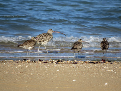 CURLEW EASTERN_52