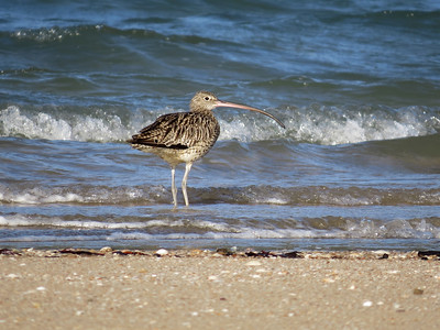 CURLEW EASTERN_55