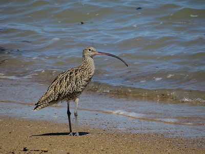 CURLEW EASTERN_33