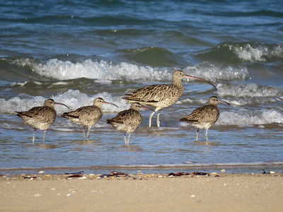 CURLEW EASTERN_51