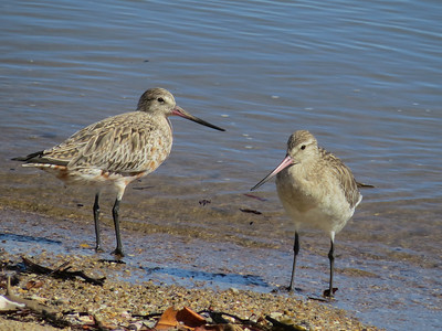 GODWIT BAR-TAILED_61
