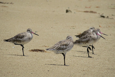 GODWIT BAR-TAILED_04