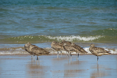 CURLEW EASTERN_28