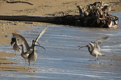 CURLEW EASTERN_42