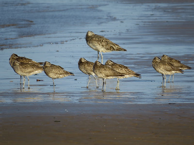 CURLEW EASTERN_65
