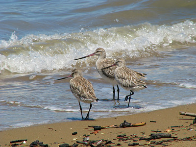 GODWIT BAR-TAILED_29