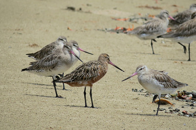 GODWIT BAR-TAILED_05