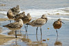 GODWIT BAR-TAILED_97