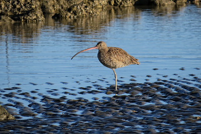 CURLEW EASTERN_38