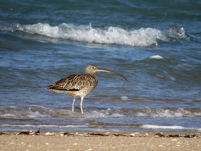 CURLEW EASTERN_56