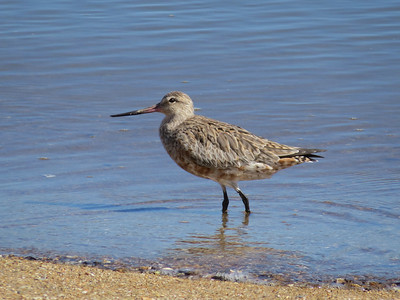 GODWIT BAR-TAILED_58