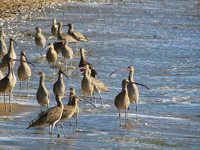CURLEW EASTERN_41