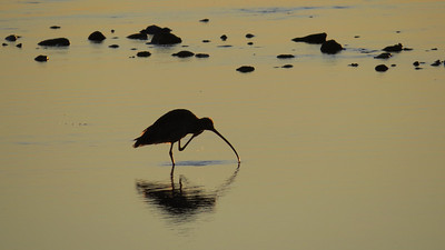 CURLEW EASTERN  39 IMAGE TAKEN AT SUNRISE