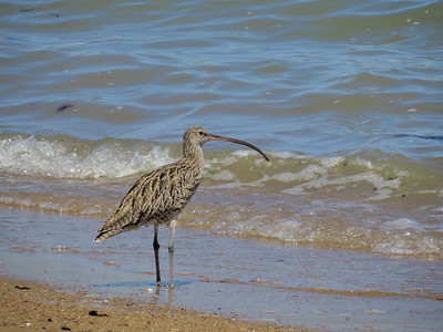 CURLEW EASTERN_31