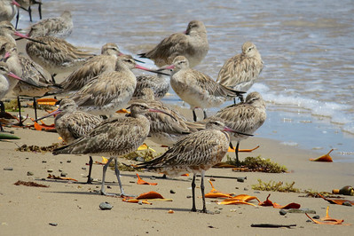 GODWIT BAR-TAILED_03