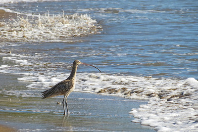 CURLEW EASTERN_44