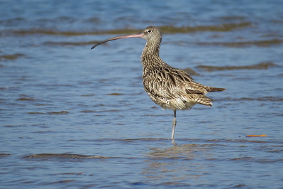 CURLEW EASTERN_49