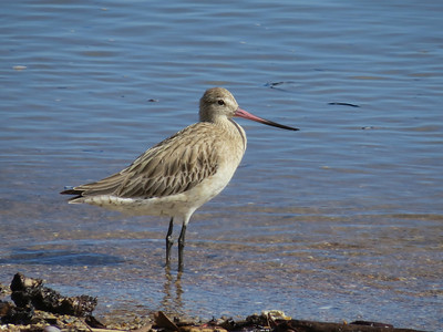 GODWIT BAR-TAILED_64