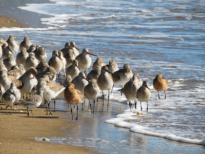 GODWIT BAR-TAILED_73