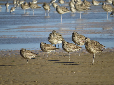 CURLEW EASTERN_64