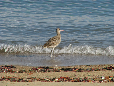 CURLEW EASTERN_022