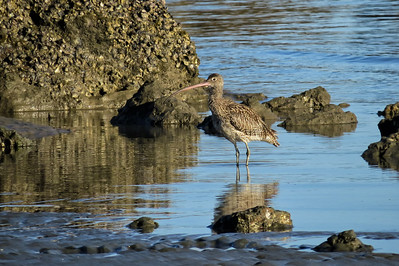 CURLEW EASTERN_36