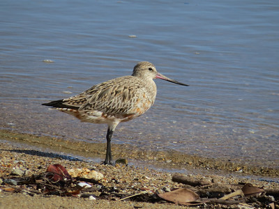 GODWIT BAR-TAILED_59