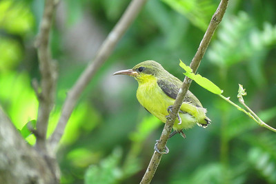 The sunbird chick seen here minutes after having left its nest under our clothesline.