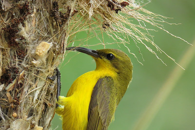 The female Sunbird putting the finishing touches to the nest she had built, hanging off our clothesline. The tiny female Sunbird putting the finishing touches to the nest she built on our clotheline. We put shadecloth and a plastic lid overhead, to give the little bird shade and shelter from the roasting summer heat and the rain. We were rewarded with two healthy chicks flying off a month later.
