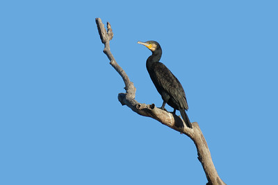CORMORANT GREAT_10
