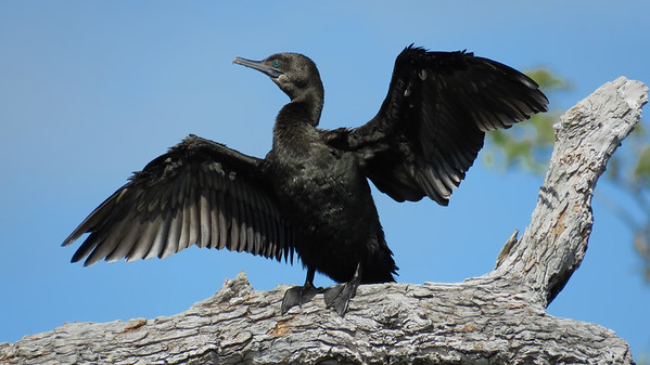CORMORANT LITTLE BLACK_47
