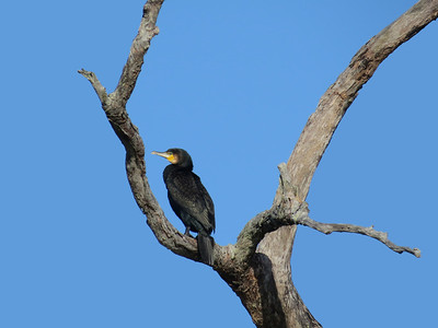 CORMORANT GREAT_05