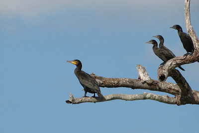 CORMORANT GREAT_02
