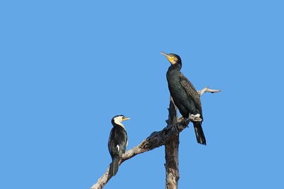 CORMORANT GREAT_11