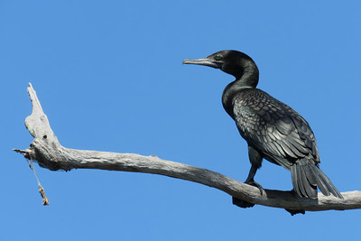 CORMORANT LITTLE BLACK_45