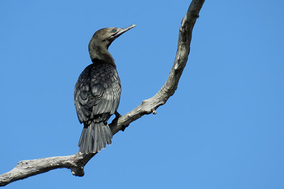 CORMORANT LITTLE BLACK_42