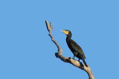 CORMORANT GREAT_09