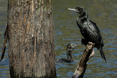 CORMORANT LITTLE BLACK_38