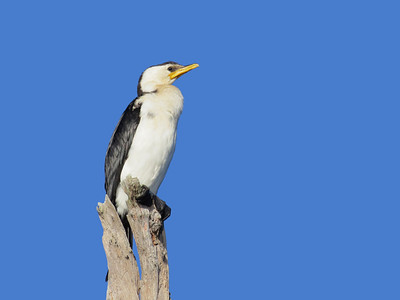 CORMORANT LITTLE PIED_20