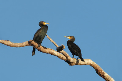 CORMORANT GREAT_03