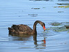 These are wild black swans. Not easy to get close to. A long lens is very useful.