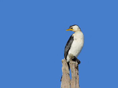 CORMORANT LITTLE PIED_19